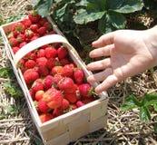 Saison de fraise Photos libres de droits