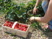 Saison de fraise Images libres de droits
