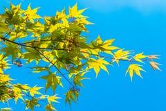 Saison de pousse de feuille d'érable au printemps Photographie stock libre de droits