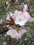 Saison 1 de Sakura Photographie stock