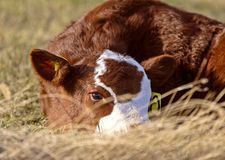 Saison de vêlage de bétail photos libres de droits