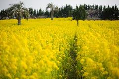 Plantation de Canola Images libres de droits