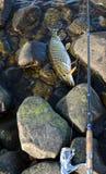 Saison pour la pêche de brochet Photos stock