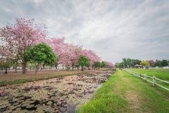 Saison rose douce de fleur de fleur au printemps Photographie stock libre de droits