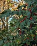 Saisonstechpalmenblätter mit roten Beeren Stockbild