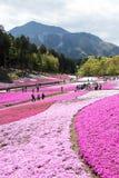 SAITAMA JAPONIA, APR 28 -, 2017: Różowy mech Shibazakura, floksa subu Obrazy Stock