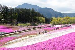 SAITAMA JAPONIA, APR 28 -, 2017: Różowy mech Shibazakura, floksa subu Fotografia Stock