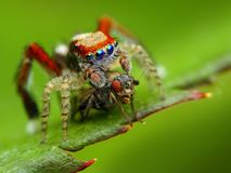 Saitis barbipes jumping spider   Stock Image