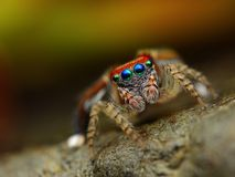 Saitis barbipes jumping spider   Royalty Free Stock Photo