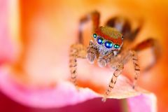 Saitis Barbipes mediterranean jumping spider   Royalty Free Stock Photos