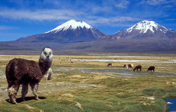 Sajama, Bolivia stock photos