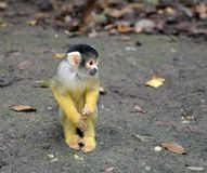 Black-capped squirrel monkey Saimiri boliviensis. Sajmiri, Saimiri boliviensis. Tiny squirrel monkey sitting on the ground in autumn time. Slovenia, Zoo stock photography