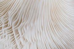 Sajor-caju蘑菇植物抽象自然背景宏指令  使用想法设计纹理自然样式的概念或墙纸 库存图片