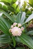 Sakae naa or Combretum quadrangulare Kurz Royalty Free Stock Photo
