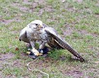 Saker猎鹰用在地面的食物 库存照片