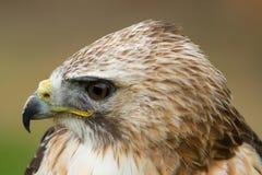 Saker猎鹰的照片 库存照片
