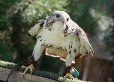 Saker猎鹰(游隼科cherrug)观看的牺牲者 免版税库存图片