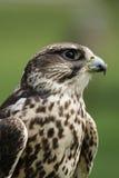 saker сокола falco cherrug Стоковое Фото