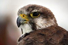 Saker Falcon Royalty Free Stock Photos