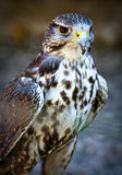 Saker Falcon Royalty Free Stock Image