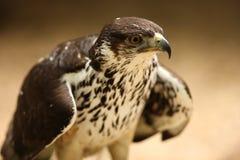Saker Falcon. Portrait of a Salker Falcon Royalty Free Stock Image