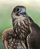 Saker Falcon Royalty Free Stock Photos
