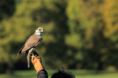 Free Saker Falcon Royalty Free Stock Images - 23030479