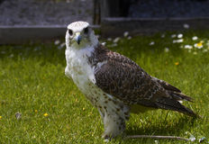 Saker Falcon. Stock Photo