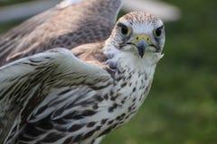 Saker falcon Stock Images