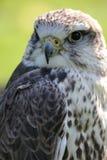 Saker falcon. (falco cherrug Royalty Free Stock Photography