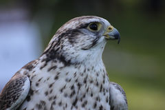 Saker falcon. (falco cherrug Royalty Free Stock Photo
