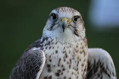 Free Saker Falcon Royalty Free Stock Photo - 27179265