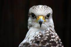 Saker Falcon Stock Photos