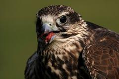 Saker Falcon. Close up of a Saker Falcon (Falco cherrug stock photo