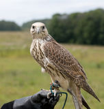 Saker falcon. Having a break while being trained Stock Photos