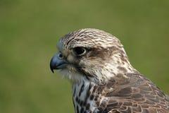 Saker Falcon. Close up of a Saker Falcon (Falco cherrug royalty free stock photos
