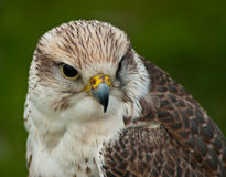 Saker Falcon Royalty Free Stock Photography
