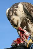 Saker falcon with bag. Close-up of a saker falcon with bag Stock Photo