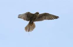 Saker Falcon Stock Photography