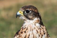 Saker falcon closeup of the head Stock Image