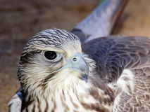 Saker falcon closeup portrait Stock Image