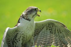 Saker falcon detail Stock Images