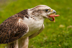 Saker Falcon eating Stock Photography