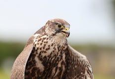 Saker Falcon eating Stock Photography