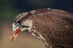 Saker Falcon eating his prey Stock Photos