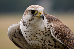 Saker falcon face Royalty Free Stock Image
