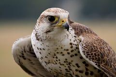 Saker Falcon Face