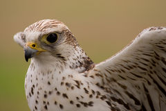 Saker falcon face Stock Photo