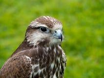 Saker falcon, face profile. Bird of prey. Royalty Free Stock Images