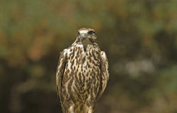 Saker falcon(falco cherrug) Stock Photography